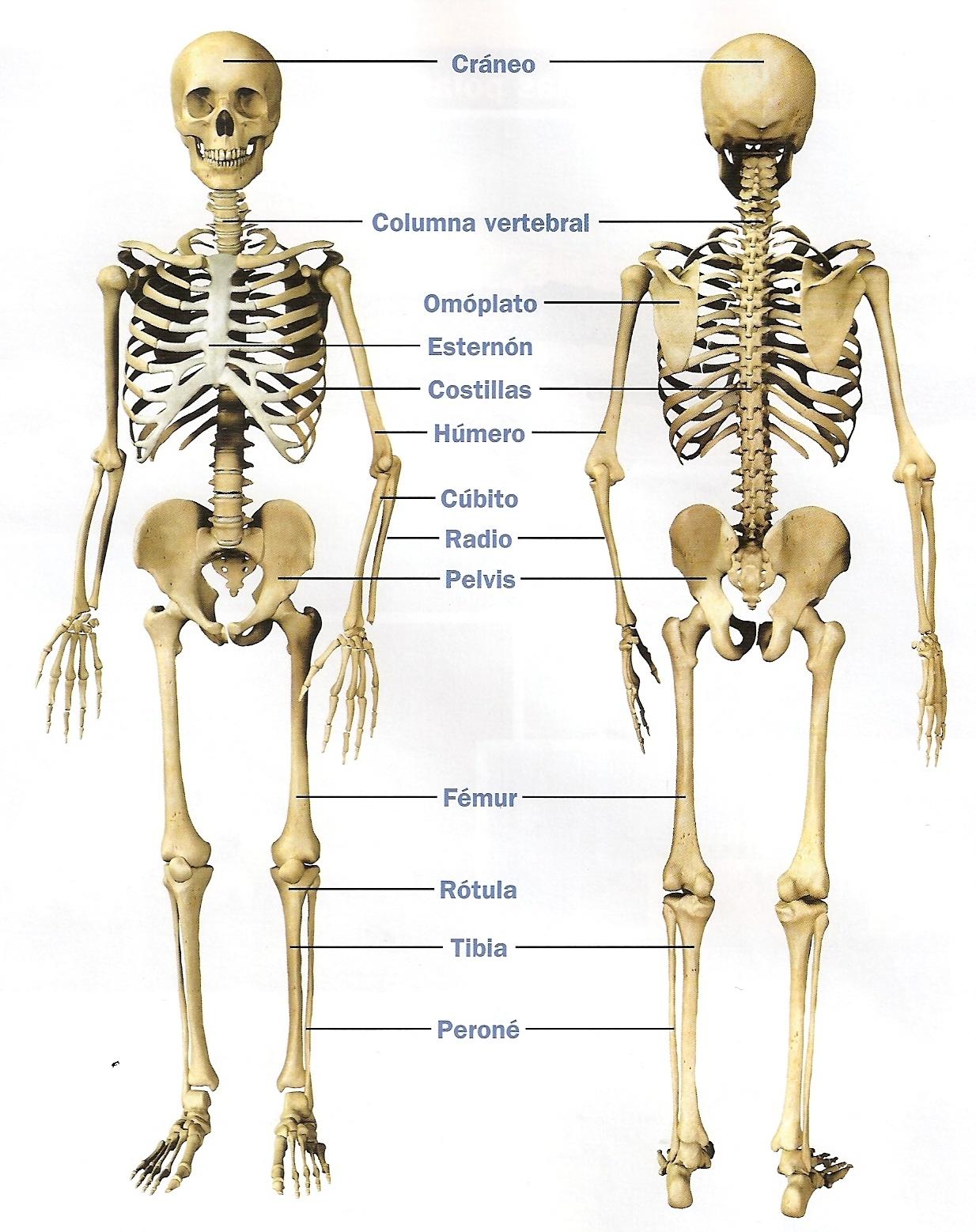 Dorable Los Huesos Del Esqueleto Humano Fotos Galería - Anatomía de ...