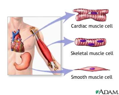 Three Types Of Musclesg