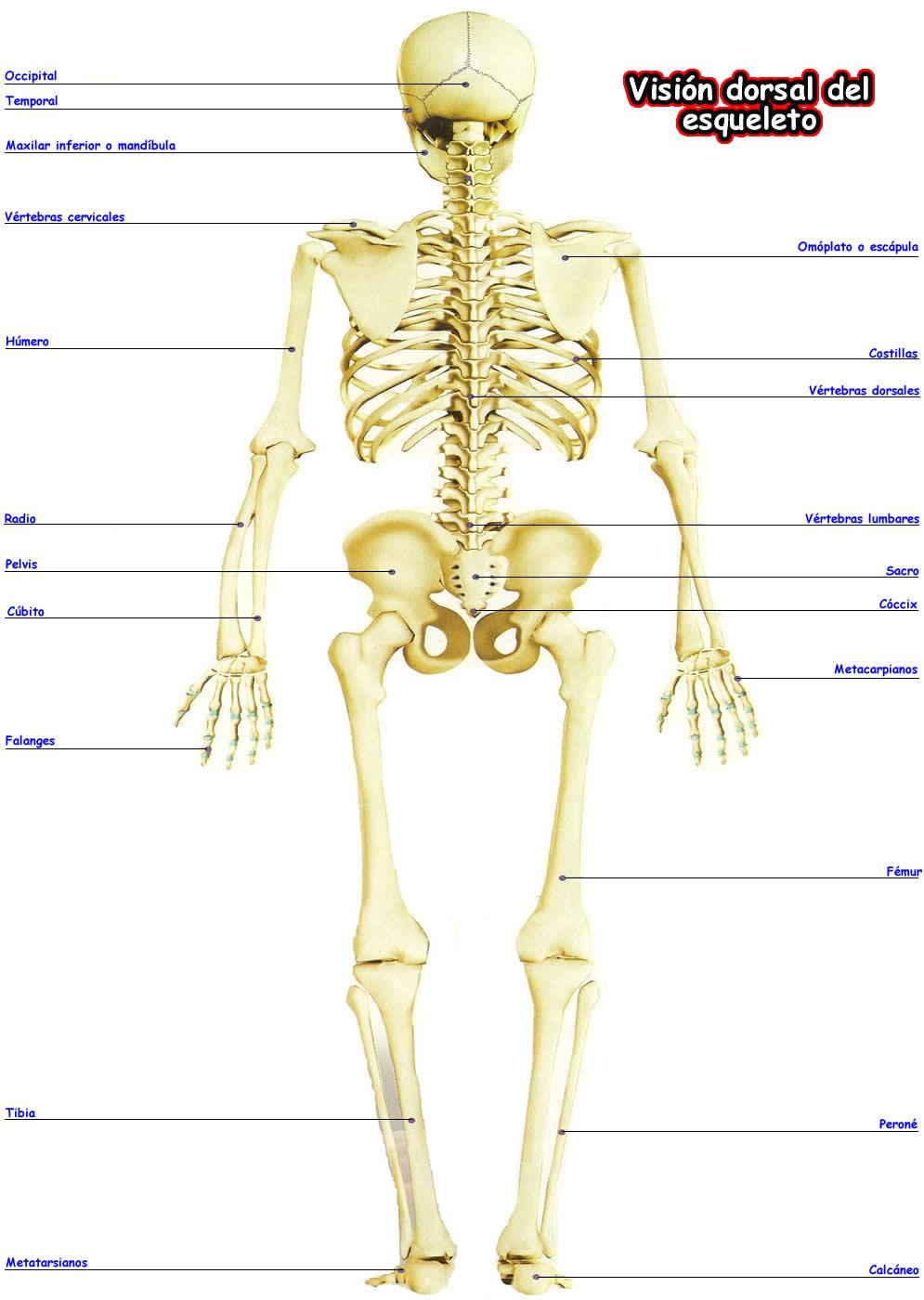 Hermosa Partes Del Cuerpo Humano Dorso Elaboración - Anatomía de Las ...
