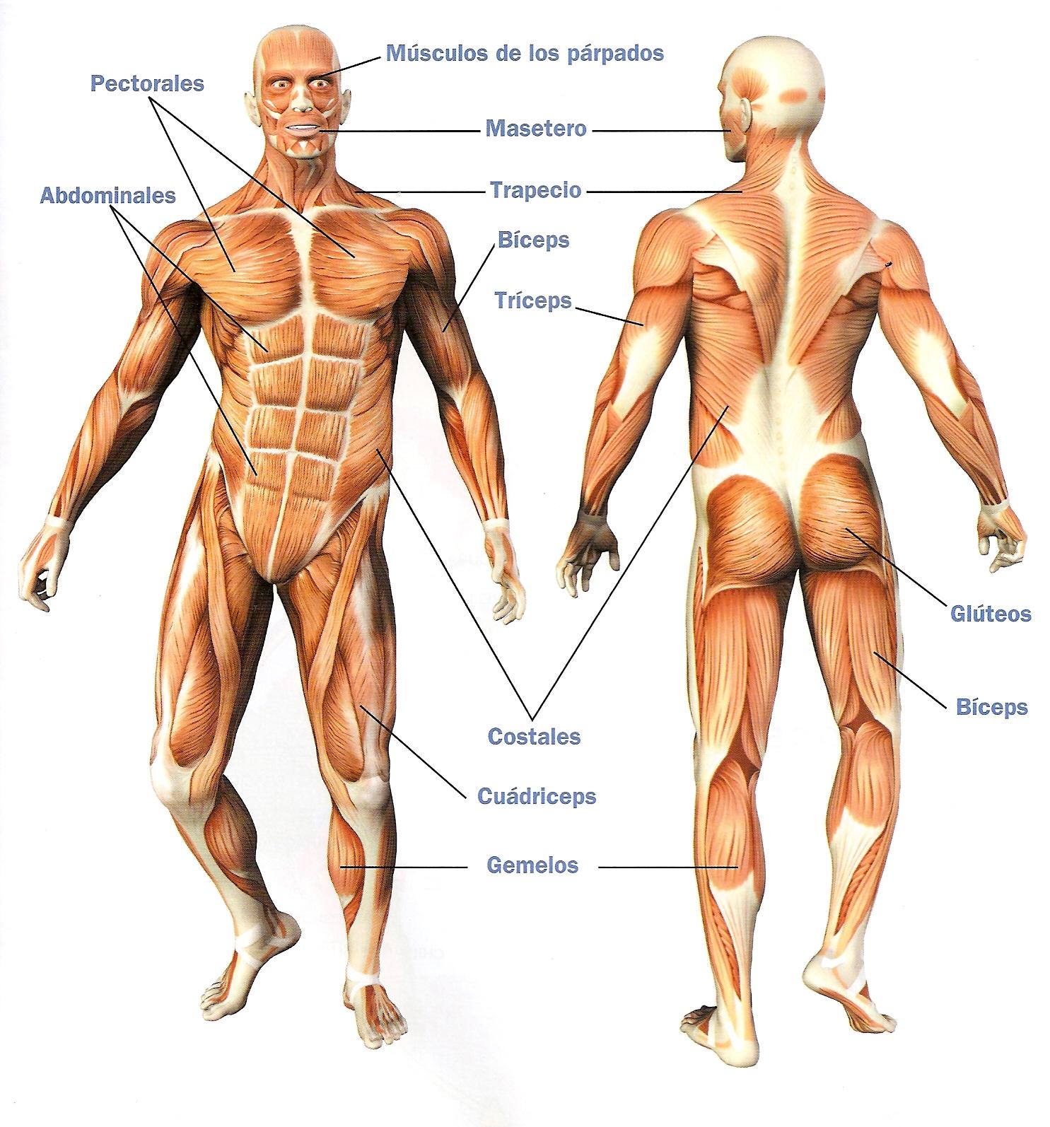 Músculos - Deporte y salud