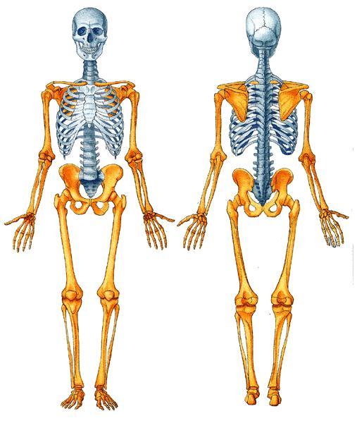Fotos Del Esqueleto Humano Sin Nombres