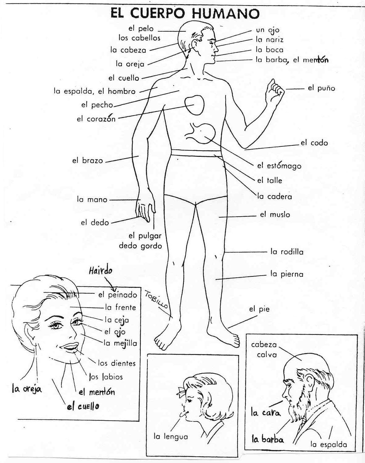 El Cuerpo Humano - ¿Conoces las partes del Cuerpo Humano?