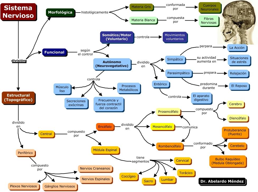 Unidad 04 Neurona/ Sistema Nervioso - Anatomía del sistema nervioso