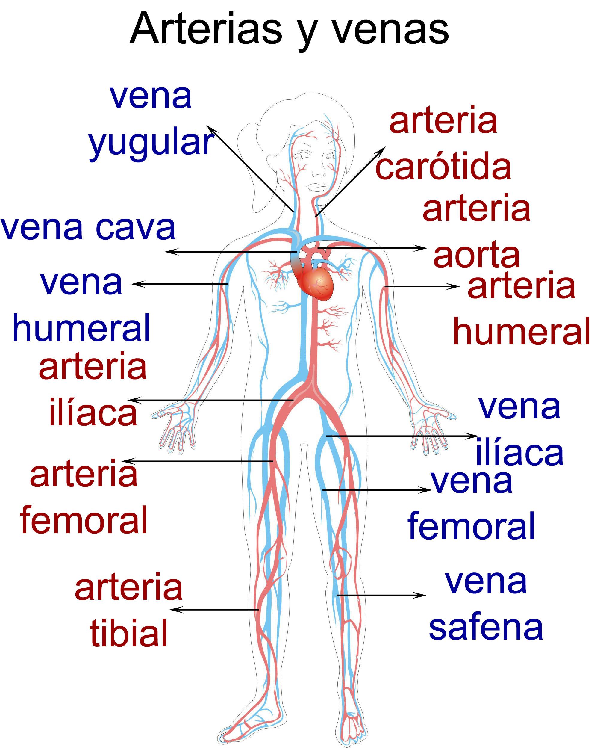 Vasos azul car interior design for Interior del cuerpo humano