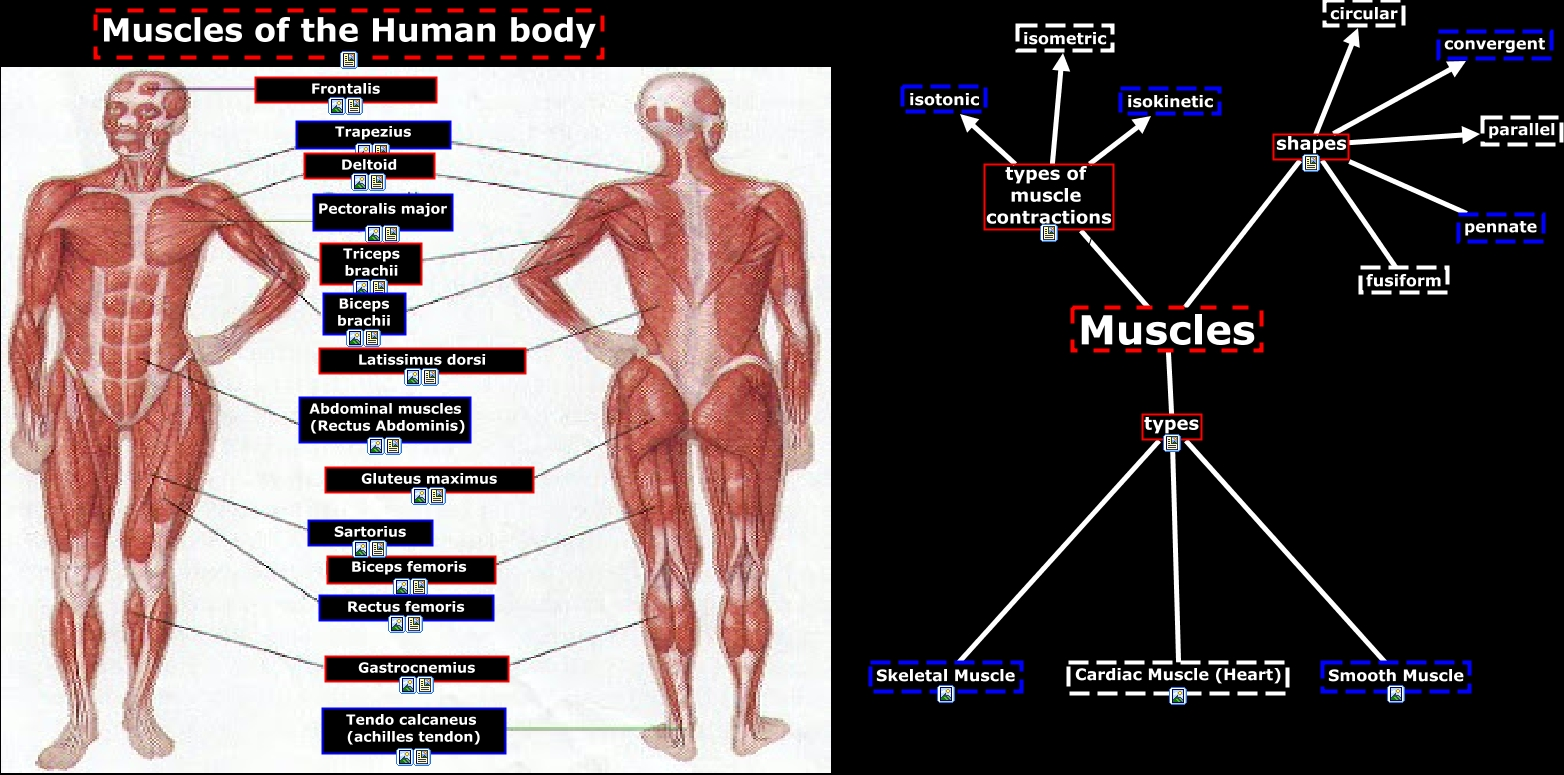 human body - muscles, Muscles