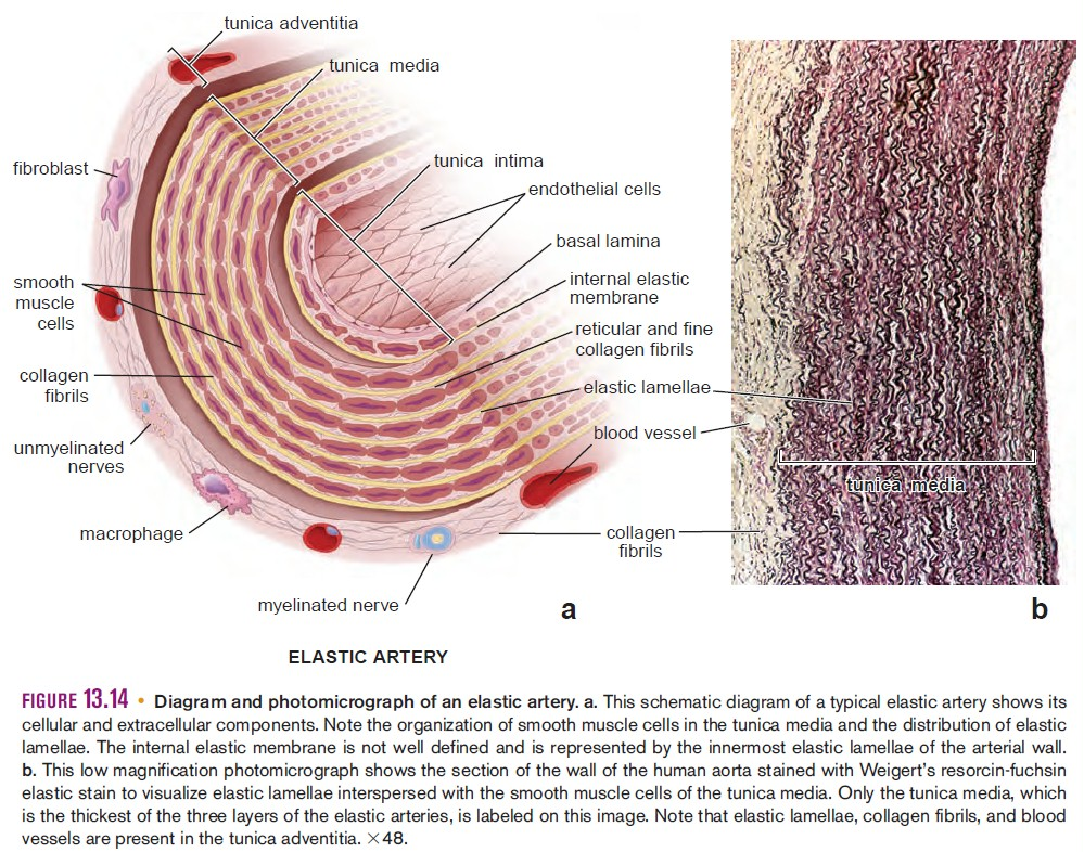 arterial wall diagram pool wall diagram histology of blood vessels #14